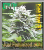 Emerald Triangle Kushhead 707 5 Feminized Seeds